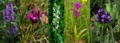OrchideenUrseetal.png