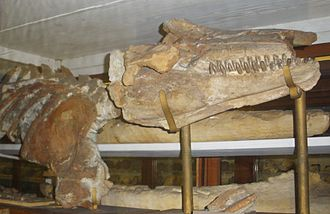 Killer whale - Orcinus citoniensis fossil, an extinct species of the same genus, Museo Capellini in Bologna