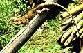 Oriental Garden Lizard - Calotes versicolor.jpg