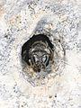 Osmia distinguenda female 1.jpg