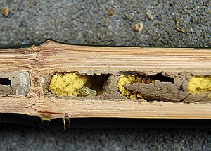 Osmia bicornis - A cross-sectional view of an O. bicornis nest:  Partitioned cells can be seen in a tube.