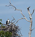 Osprey and nest (6768970889).jpg