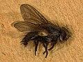 Oswaldia muscaria (26564329557).jpg