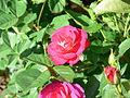 Outta the blue rose 2.jpg
