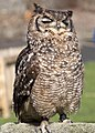 Owl 1d (5512271874).jpg