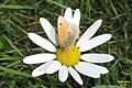 Ox-eye daisy and Small heath (NH) (15809322790).jpg