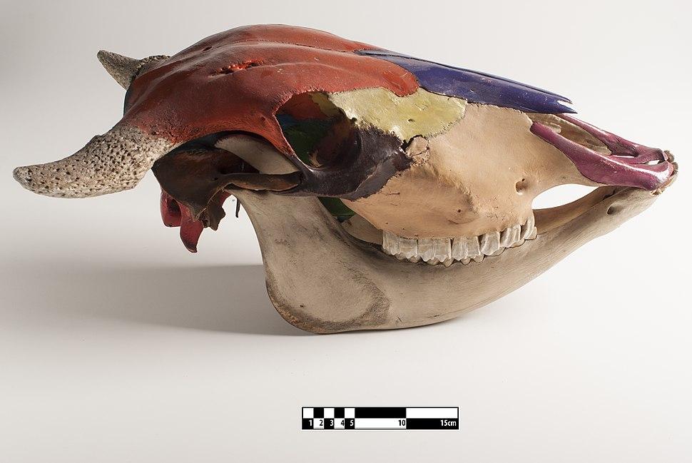 Ox skull