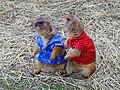 PRAIRIE DOG (แพรี่ด็อก) Photographed by Peak Hora DODSCN0723.jpg