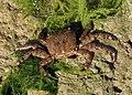 Pachygrapsus marmoratus 2012 G4.jpg