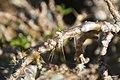 Pachypodium lealii saundersii 4zz.jpg