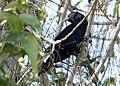 Pacific Koel (Eudynamys orientalis) (30556013153).jpg