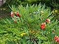 Paeonia delavayi 2015-05-17 03.jpg
