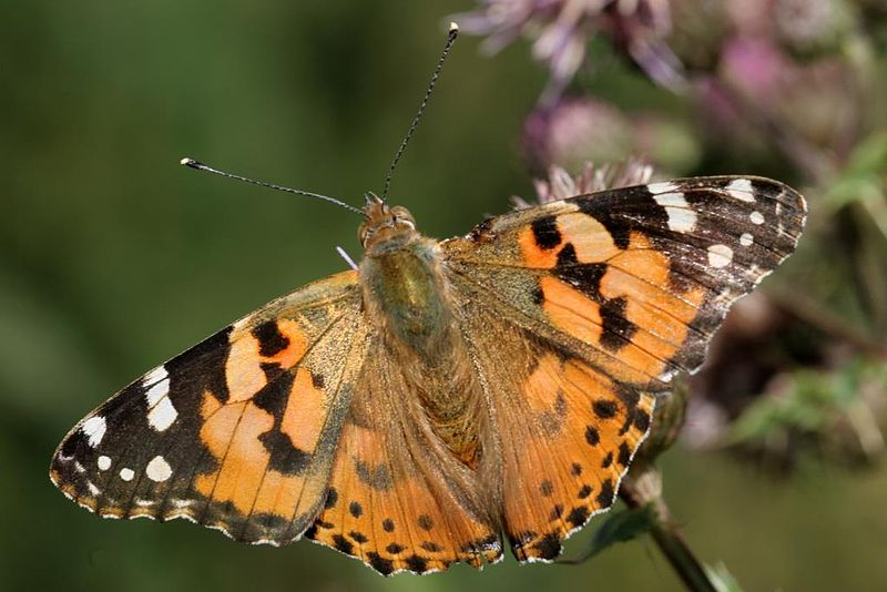 File:Painted Lady ButterFly.jpg