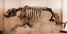 Fossil Paleoparadoxia