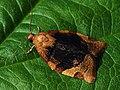 Pandemis cerasana - Barred fruit-tree tortrix - Кривоусая листовёртка смородиновая (27439294968).jpg