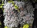 Pannaria rubiginosa (Ach.) Bory 411885.jpg