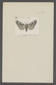 Panthea - Print - Iconographia Zoologica - Special Collections University of Amsterdam - UBAINV0274 057 01 0031.tif