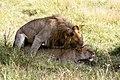 Panthera leo copulation 2011-07-18 09-10-17 30D (14433817211).jpg