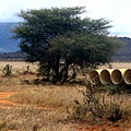 Panthera leo under a tree in Tsavo East National Park (edited).jpg