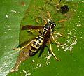 Paper Wasp. (Polistes dominula^) - Flickr - gailhampshire.jpg
