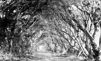 Forrest Highway - An arch of paperbarks over Old Coast Road in 1936