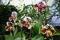 Paphiopedilum Spotted Delight - Internationale Orchideen- und Tillandsienschau Blumengärten Hirschstetten 2016 b.jpg