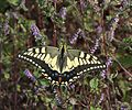 Papilio machaon (on Elsholtzia ciliata).JPG