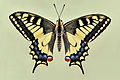 Papilio machaon 01 04102009.jpg