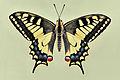 Papilio machaon 01 04102009.jpg