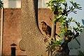 Pariah kite (18379816145).jpg