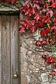 Parthenocissus tricuspidata at Phantassie - geograph.org.uk - 565403.jpg