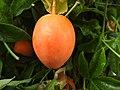 Passiflora fruit ripe (30933115510).jpg