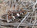 Pasture Day Moth (3449290739).jpg