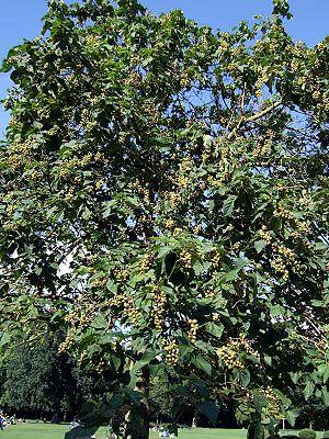 Blauglockenbaum - WikiVisually