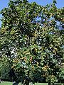 Paulownia-tomentosa BMK.jpg