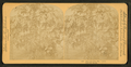 Paw paw trees. Florida, from Robert N. Dennis collection of stereoscopic views.png