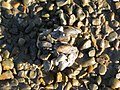 Pebbles and Mussels - geograph.org.uk - 665263.jpg