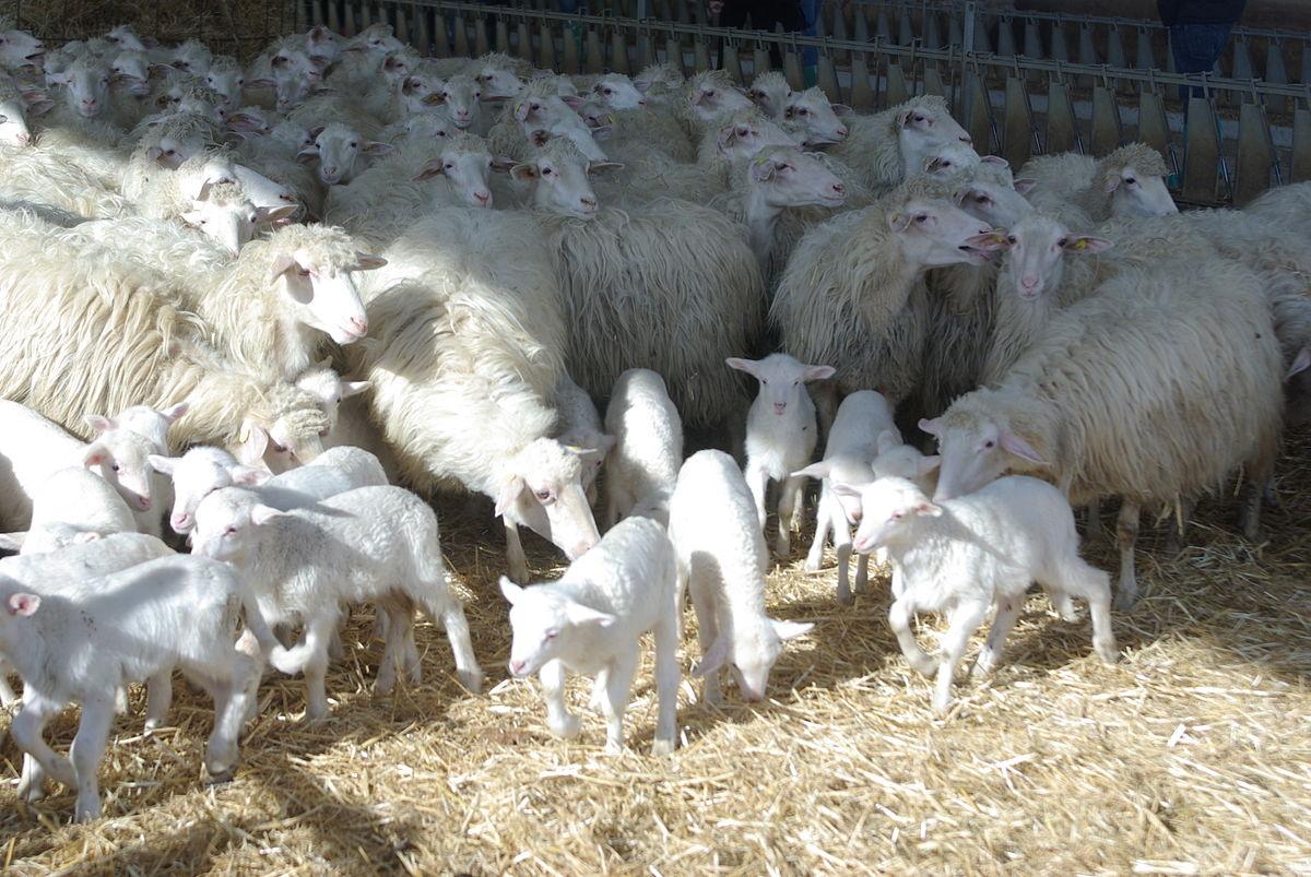 Sarda Sheep Wikipedia