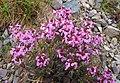 Pedicularis chamissonis var. japonica 01.jpg