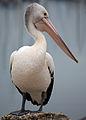 Pelican (bertknot 001).jpg