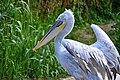 Pellicano riccio (Pelecanus crispus) - Dalmatian pelican, Cumiana, Italia, 08.2018.jpg