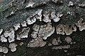 Peniophora quercina (35412127820).jpg