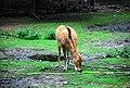 Pere davids deer.jpg