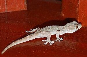 East Canary gecko - Image: Perenquén Majorero