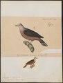 Peristera bronzina - 1700-1880 - Print - Iconographia Zoologica - Special Collections University of Amsterdam - UBA01 IZ15600241.tif