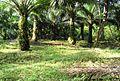 Perkebunan kelapa sawit milik rakyat (39).JPG
