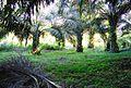 Perkebunan kelapa sawit milik rakyat (88).JPG