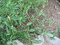 Persicaria maculosa habitus.jpeg