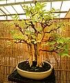 Pescia, museo del bonsai, psidium guajava, stile moyogi (eretto informale), dalla cina, circa 80 anni.jpg