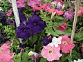 Petunia Single from Lalbagh flower show Aug 2013 8022.JPG